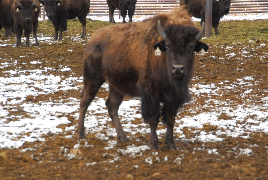 ONLINE PUBLIC AUCTION - MONTOSO BISON CO, INC. – JOHN PAINTER BISON AUCTION SELLING 20 PRIME YEARLING HEIFERS – TRES PIEDRAS NM , December 5th, 2019  - 8:00 am